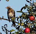 Fieldfare. Turdus pilaris. - Flickr - gailhampshire (2).jpg