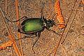 Fiery Searcher - Calosoma scrutator, Occoquan Regional Park, Occoquan, Virginia.jpg
