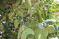 Fig trees.JPG