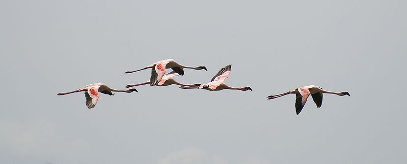 flying flamingoes ii by - photo #48