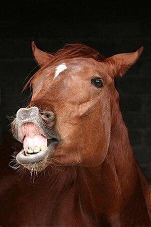 Flehmen response - Flehmen response in a horse