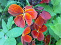 Fleurs de giroflée à Grez-Doiceau 001.jpg