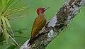 Flickr - Rainbirder - Rufous-winged Woodpecker (Piculus simplex) male (1).jpg