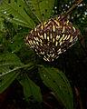 Flickr - ggallice - Nocturnal wasp nest.jpg