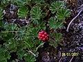 Flora en Glaciar Balmaceda - panoramio.jpg