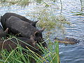 Florida- 1745 Gators vs Pigs.JPG