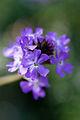 Flower, Name unknown... - Flickr - nekonomania (9).jpg