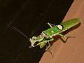 Flower Mantis (Creobroter gemmatus) (6959763314).jpg