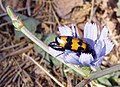 Flower and beetle in Sardinia, Italy.jpg