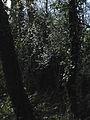 Flowering tree - geograph.org.uk - 717009.jpg