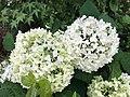 Flowers of Hydrangea macrophylla 20200618-1.jpg