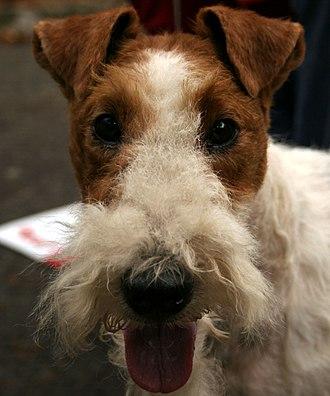 Fox Terrier - Head of a Wire Fox Terrier