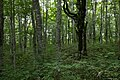 Forest in Mt.Bandai 04.jpg