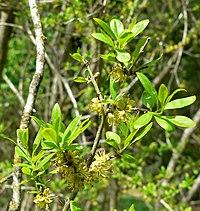 Forestiera pubescens 1