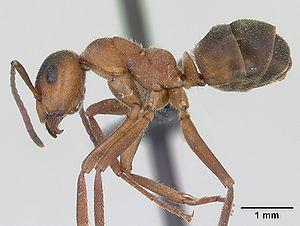 Präparierte Formica truncorum -Arbeiterin