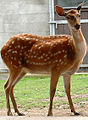 Formosan sika deer Cougar Mountain Zoo 2.jpg