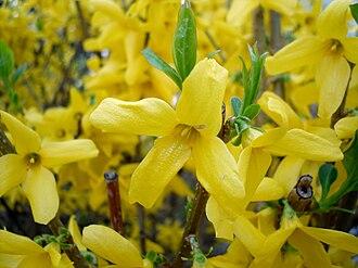 Forsythia - Forsythia × intermedia