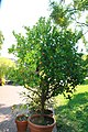 Fortunella japonica 7zz.jpg