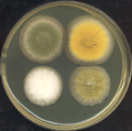 Four 3-day old Aspergillus colonies on a Petri dish.png