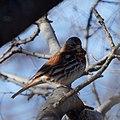 Fox Sparrow (5462668317).jpg
