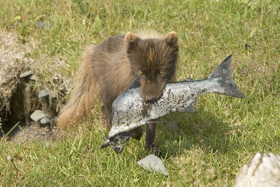 Fox with fish
