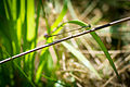 Fragile Forktail (Ischnura posita) (20156021345).jpg