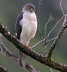 Francess sparrowhawk cropped.jpg