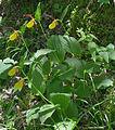 Frauenschuh Cypripedium calceolus Bula Gherdeina.jpg
