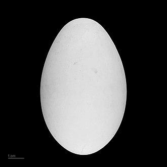 Lesser frigatebird - Fregata ariel - MHNT