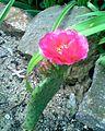 Freilandkakteen - Opuntia fragilis.jpg