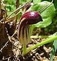 Friars Cowl. Arisarium vulgare - Flickr - gailhampshire.jpg