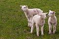 Friedrichsgabekoog drei lemmata 01.04.2012 15-11-40.jpg