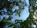 Frozen Oak (2985259566).jpg