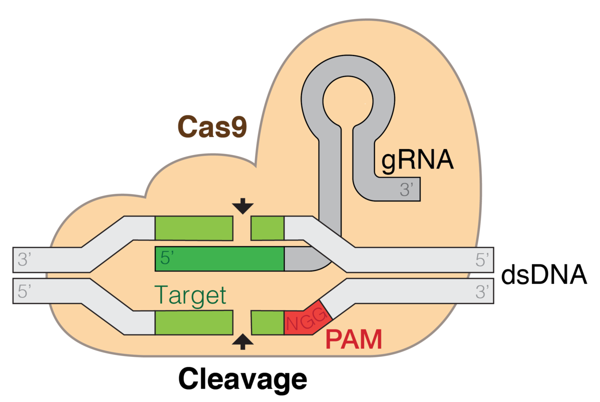 CRISPR gene editing - Wikipedia