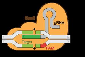 CRISPR - CRISPR/Cas9