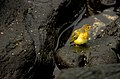 Galapagos Mangrove Warbler on Lava Rocks.jpg