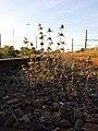 Galeopsis angustifolia sl11.jpg