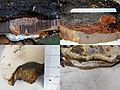 Ganoderma adspersum or Ganoderma australe Syn Polyporus adspersus Southern Bracket, D= Wulstige Lackporling, F= Ganoderme d'Europe, NL= Dikrandtonderzwam) brown spores and causes white rot. Some details at 't Panorama - panoramio.jpg