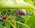 Garden orb weaver15.jpg