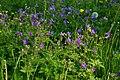 Garphyttan NP purple flowers.jpg