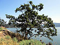 Garry Oak (7743625120).jpg