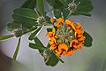 Gastrolobium flower and buds 1779.jpg