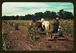 Gathering corn in the field 1a34131v.jpg