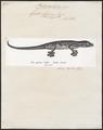 Gecko laevis - 1700-1880 - Print - Iconographia Zoologica - Special Collections University of Amsterdam - UBA01 IZ12300099.tif