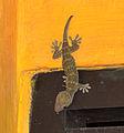 Gekko gecko in Yogyakarta, 2014-04-25 01.jpg