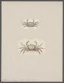 Gelasimus tetragonon - - Print - Iconographia Zoologica - Special Collections University of Amsterdam - UBAINV0274 094 02 0007.tif