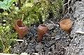 Gemeine Anemonenbecherling Dumontinia tuberosa.JPG