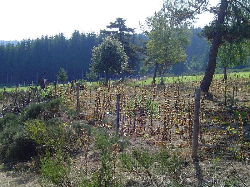 File:Gentianes jaunesw défleuris en forêt de Mercoire.JPG