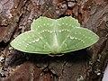 Geometra papilionaria - Large emerald - Большая зелёная пяденица (39126903200).jpg