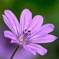 Geranium pyrenaicum flower close-up.jpg